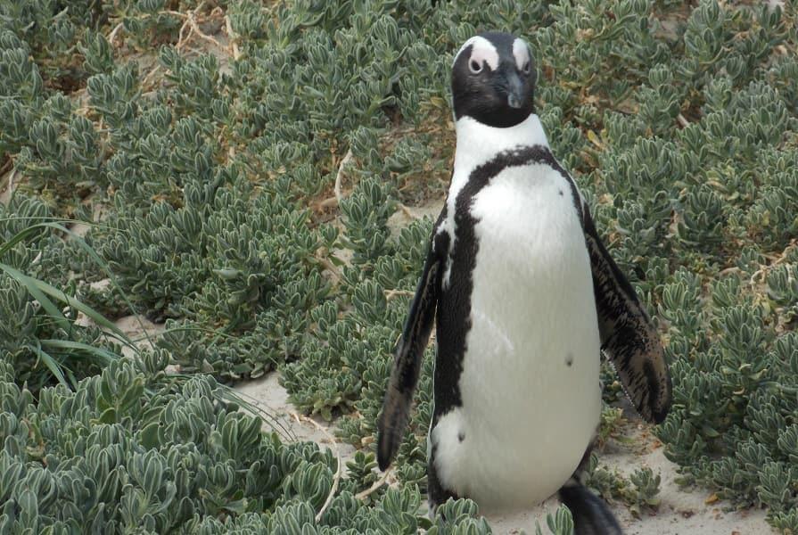 Тур в ЮАР. Экскурсия к капским пингвинам